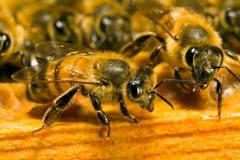 abeilles-dans-ruche.jpg